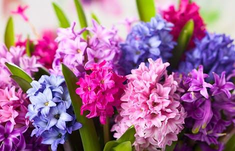 Photograph of hyacinths