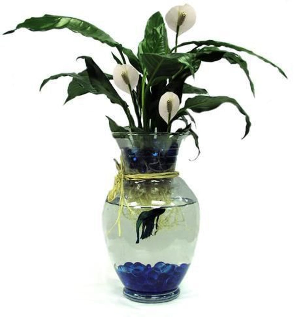 Betta Fish With Green Plant Blossomflower Com