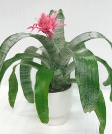 Pink Bromeliad Plant in White Ceramic