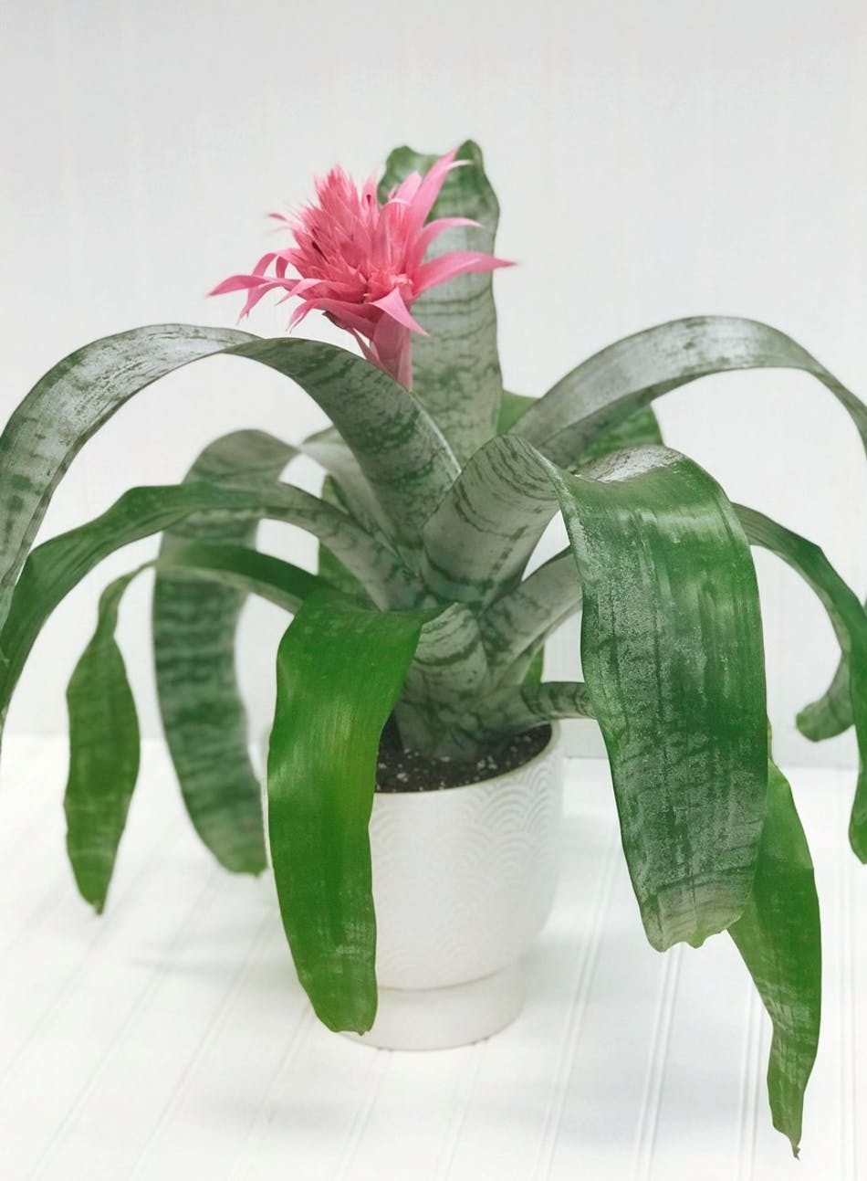 Bromeliad Pink White Plains Florist Yonkers Flower Shop