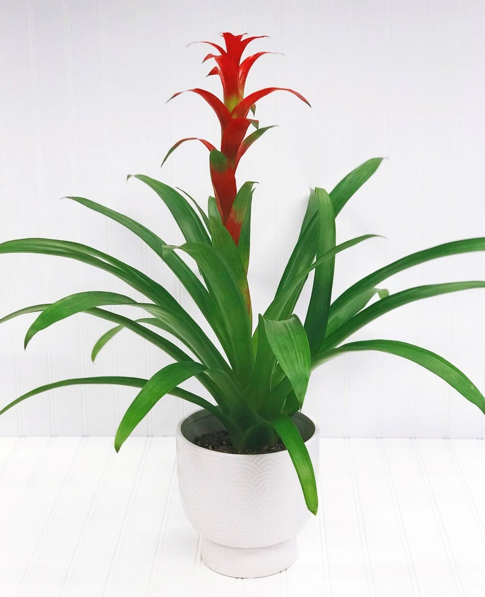 Red Bromeliad Plant in White Ceramic