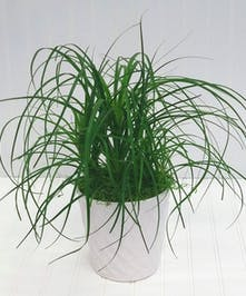 Ponytail Palm in White Ceramic