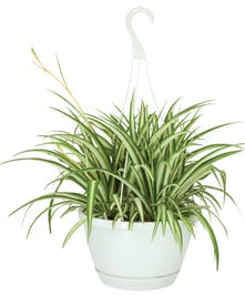 Spider Plant - Hanging