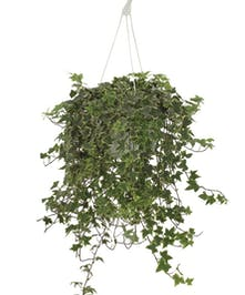 Hanging Plant - English Ivy