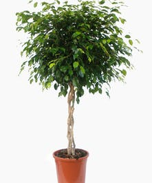 A very popular green plant which is ideal for the home or office.