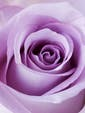 12 Premium Lavender Roses  Approx 24