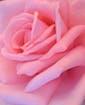 12 Premium Pink Roses Approx 24
