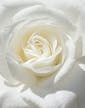 12 Premium White Rose Approx 24