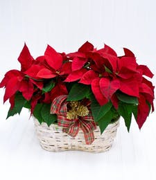 Double Poinsettia