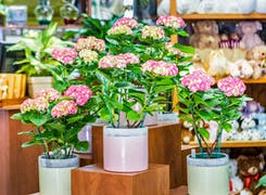 Pink potted plants in bloom at our Yonkers location